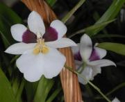 Miltoniopsis roezlii
