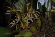 Maxillaria endresii