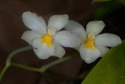 Ticoglossum oerstedii