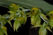 Catasetum viridiflavum