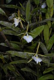 Epidendrum eburneum