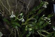Epidendrum trialatum