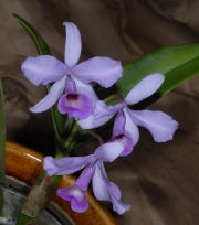 Cattleya patinii