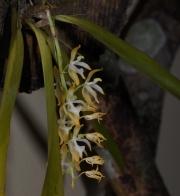 Notylia latilabia