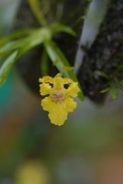 Psygmorchis crista-galli