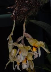 Stanhopea wardii