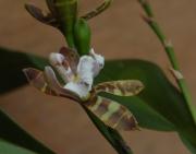 Aspasia epidendroides