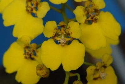 Chelyorchis ampliata