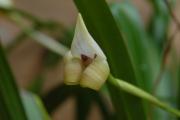 Trigonidium egertonianum
