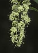Aegiphila  panamensis