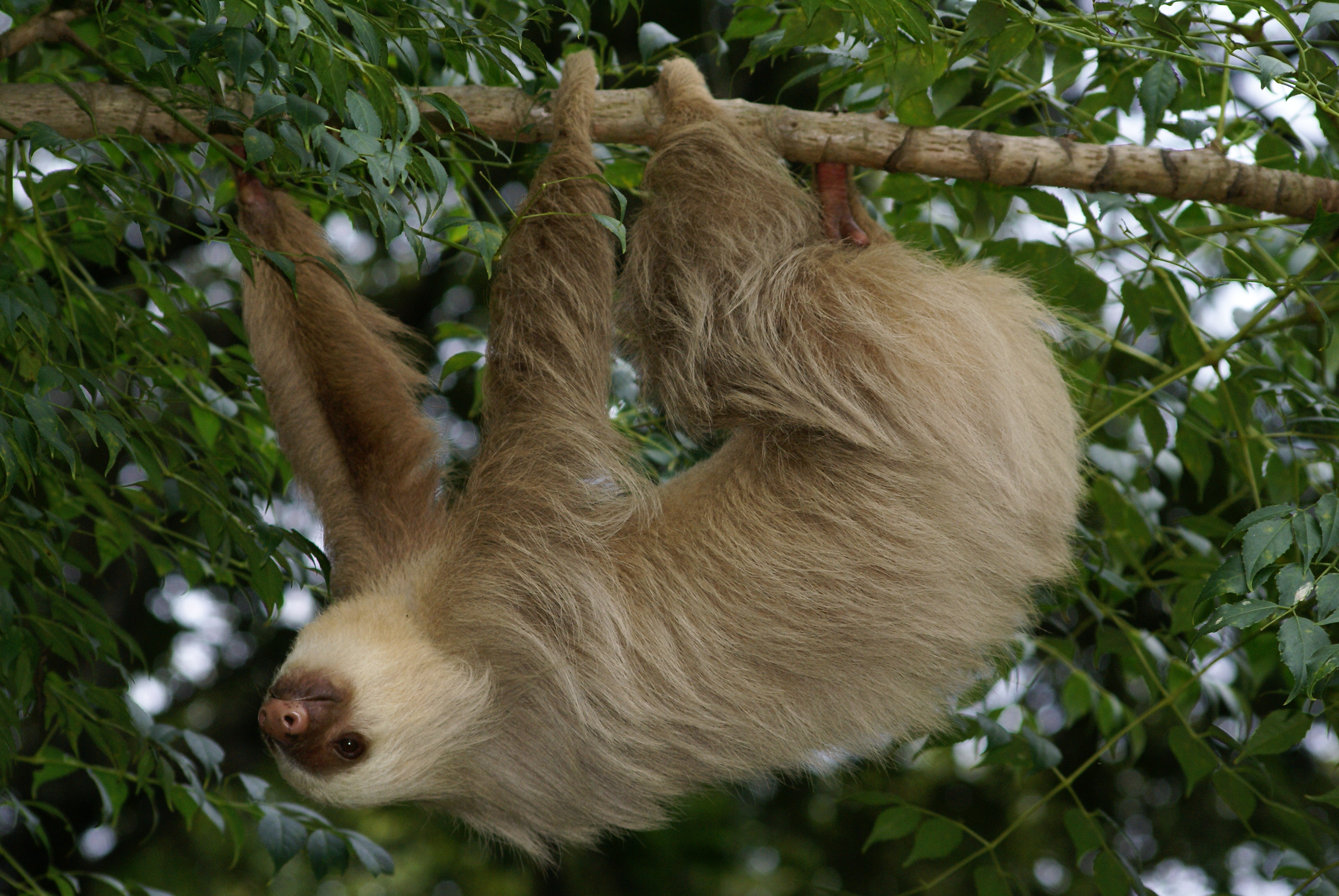 Sloth going to the bathroom - Two Toed Sloth Sp