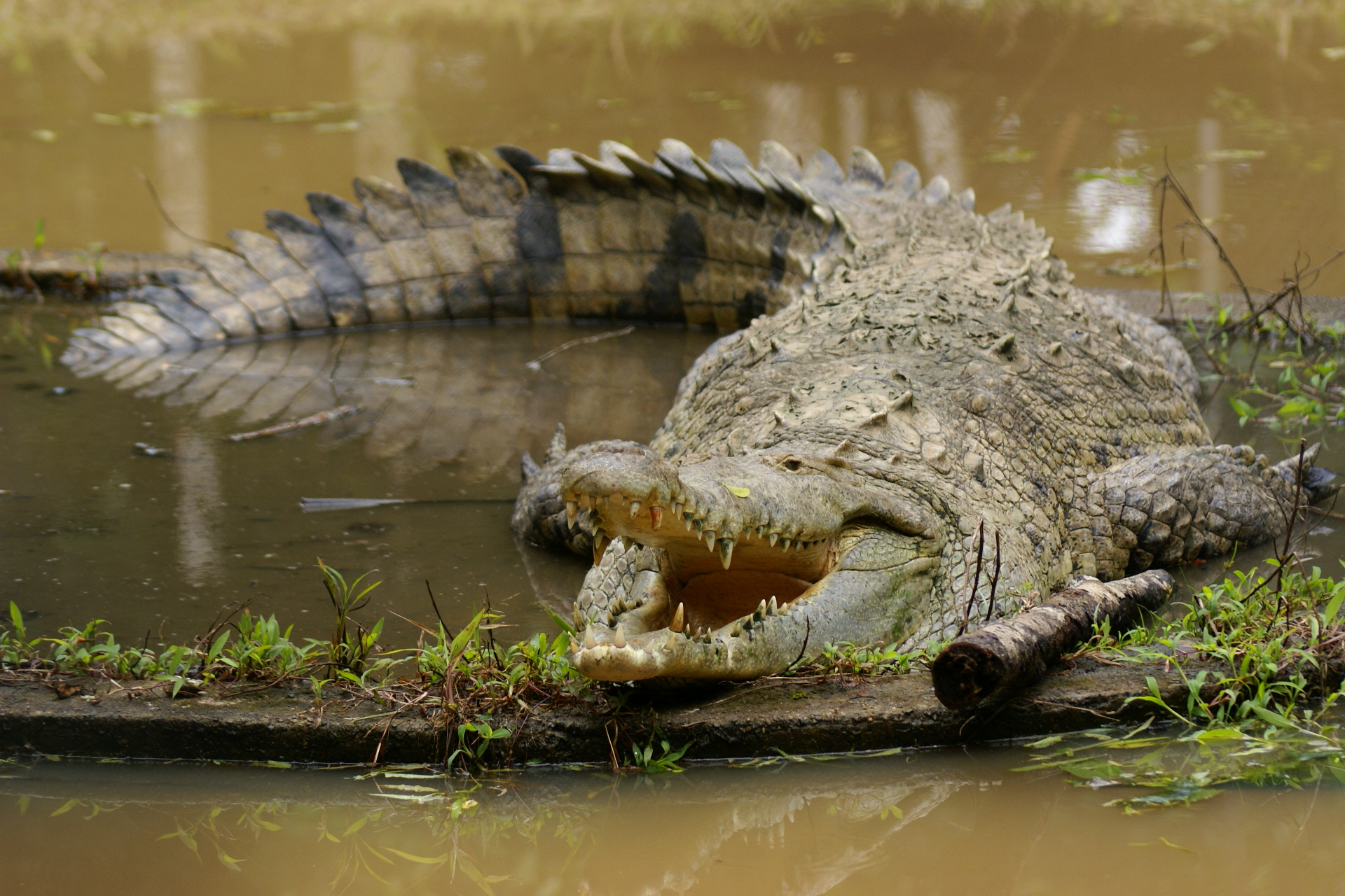 information about the american crocodile crocodylus acutus American crocodile (crocodylus acutus)  key facts geographic range:  southern florida, the caribbean islands, central america, and northern south.