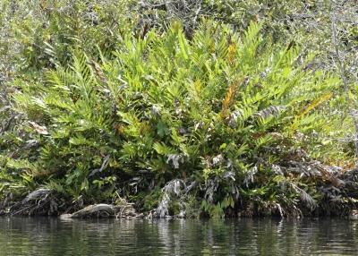 Acrostichum aureum in quiet pond
