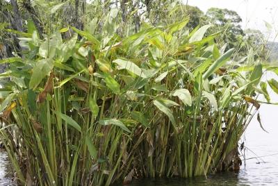 Thalia geniculata in flooded area