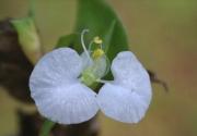 Commelina erecta flower