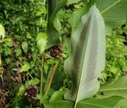 Calathea latifolia leave & inflorescence
