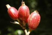 Renealmia alpinia fruit