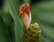 Costus  guanaiensis  macrostrobilus