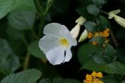 Thunbergia erecta flower