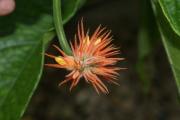 Gurania makoyana inflorescence