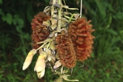 Mucuna mutisiana inflorescence & immature fruit