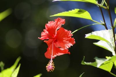 Stri office of bioinformatics metas hibiscus rosa sinensis flower izmirmasajfo