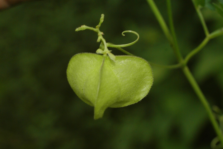 Cardiospermum halicacabum var.