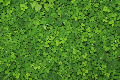 Desmodium triflorum, leaves