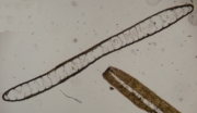 Dictyota ciliolata