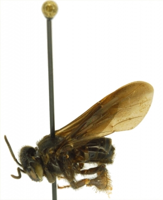 Orchid Bee: Trigona amalthea