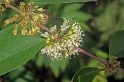 Adenaria floribunda flower