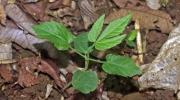 Dalechampia cissifolia subsp. panamensis