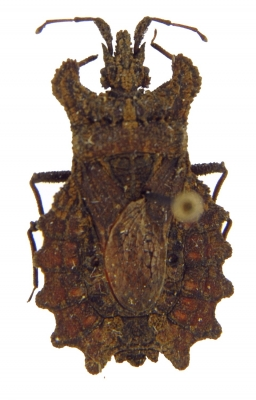 Weird Insects: Dysodius lunatus