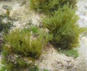 Dictyota ciliolata in situ