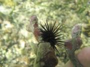 Echinometra  viridis