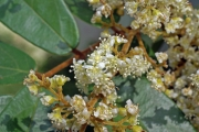 Cnestidium rufescens