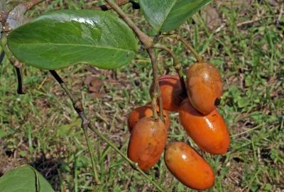 Gnetum leyboldii var. woodsonianum