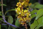Byrsonima spicata