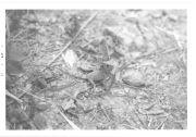 Lizard Corytophanidae