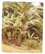 Banana plant (Musa sp.)