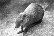 Neque (Dasyprocta punctata)