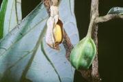 Aristolochia panamensis