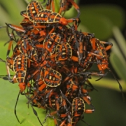 Pachylis Nymphs (Heteroptera: Coreidae)