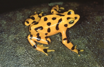 Atelopus zeteki (rana dorada)the montane slopes of the Central Cordilleran rainforests of west-central Panama are home to the few remaining populations of the endangered Panamanian Golden Frog, Atelopus zeteki.  The Golden Frog has become a cultural (for