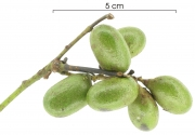 Abuta racemosa immature-Infructescences