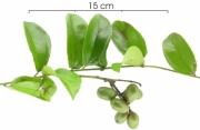 Abuta racemosa immature-fruit plant