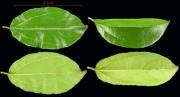 Abuta racemosa leaf