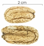 Abuta racemosa seed-dry