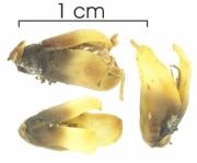Acrocomia aculeata flower