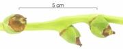 Acrocomia aculeata immature-Infructescences